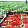 Испански производител търси берачи на ягоди