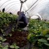 Продължава набирането на кандидати за бране на ягоди в Испания